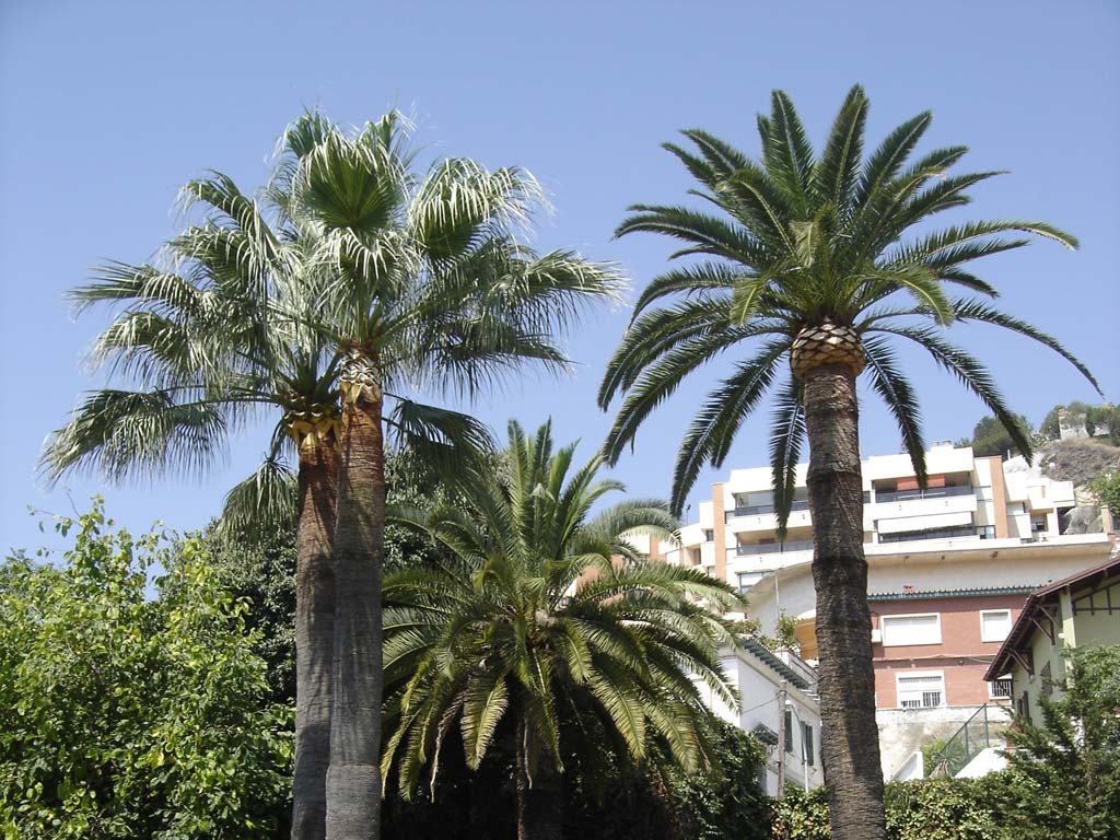 palm trees pruning marbella